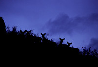 """Ladies of The Evening"" - Mule deer near Crystal Reservoir, Wyoming."